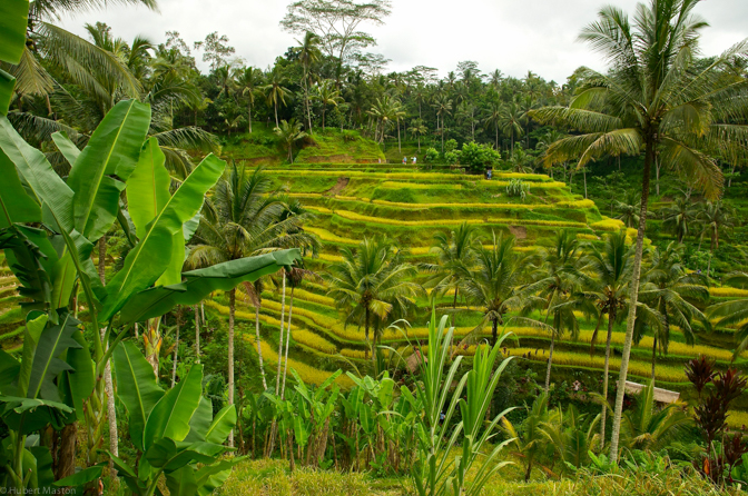 Peaceful rice paddies