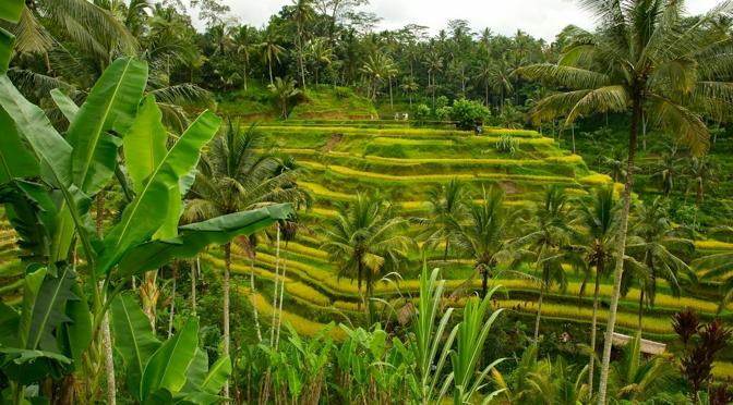 Peaceful rice paddies