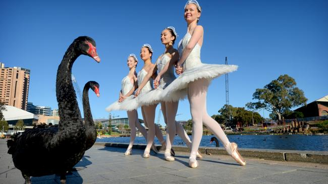 When Swan Lake meets the Torrens river